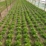 Producător legume din Copăceni