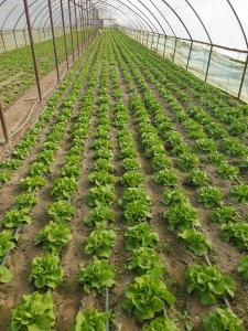 Producător legume Copăceni